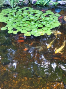 Learn 'How to' care for your Koi and other pond fish. What to feed them and when! AND more...