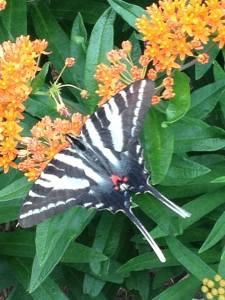Zebra Swallowtail nectaring on Milkweed.