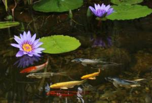 relax by the pond and enjoy the beauty of the aquatic plants and koi.